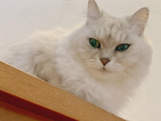 ペルシャ猫 チンチラシルバーの保護猫